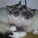 Pälsvård för katten