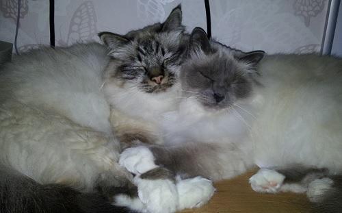 2 vänner vilar kärvänligt tillsammans. Rasen är Helig Birma