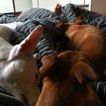 Hunder i sängen