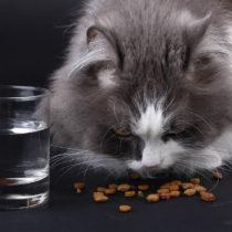 Torrfoder och vatten för katten