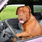 Välj rätt hundbur till bilen – Safety first!